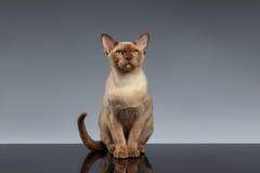 Birmania Cat Sits y mirada in camera en gris imagen de archivo