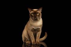 Birmania Cat Sits y mirada in camera en negro fotos de archivo libres de regalías