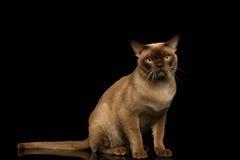 Birmania Cat Sits y mirada in camera en negro imagen de archivo