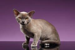 Birmania Cat Sits y mirada in camera en púrpura imágenes de archivo libres de regalías