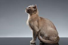Birmania Cat Sits y mirada para arriba en fondo gris foto de archivo