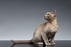 Birmania Cat Sits y mirada para arriba en gris fotografía de archivo libre de regalías