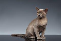 Birmania Cat Sits y mirada para arriba en gris foto de archivo libre de regalías