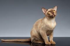 Birmania Cat Sits y mirada para arriba en gris imagenes de archivo