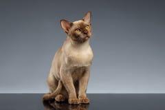 Birmania Cat Sits y mirada para arriba en gris imagen de archivo