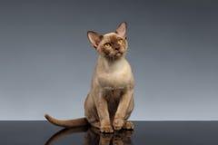 Birmania Cat Sits y mirada para arriba en gris fotos de archivo