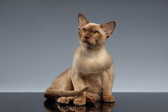 Birmania Cat Sits y mirada para arriba en gris fotos de archivo libres de regalías