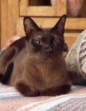 Birmanische Katze Stockbild