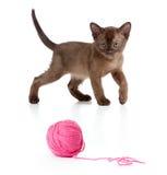 Birmanische Katze, die rote Schlaufe oder Kugel spielt Stockbild