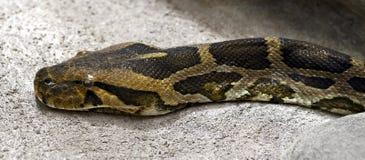 Birmanische Pythonschlange lizenzfreie stockbilder