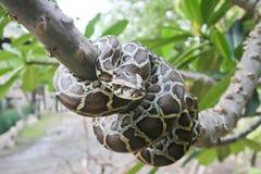 Birmanische Pythonschlange. Lizenzfreies Stockbild
