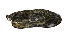Birmanische Pythonschlange auf Weiß Lizenzfreies Stockfoto