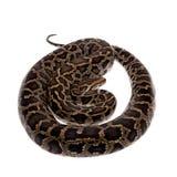 Birmanische Pythonschlange auf weißem Hintergrund stockfotografie