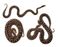 Birmanische Pythonschlange auf weißem Hintergrund stockbild