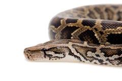 Birmanische Pythonschlange auf weißem Hintergrund lizenzfreie stockfotografie