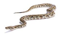 Birmanische Pythonschlange, Pythonschlange bivittatus stockbilder