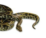 Birmanische Pythonschlange lokalisiert auf weißem Hintergrund lizenzfreie stockfotografie
