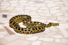 Birmanische Pythonschlange, Pythonschlange bivittatus auf Steinhintergrund stockbilder