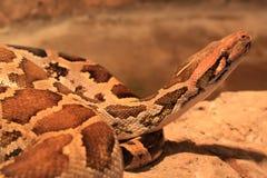 Birmanische Pythonschlange (Pythonschlange molurus) Lizenzfreie Stockbilder