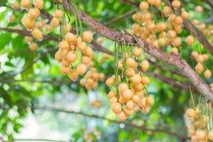 Birmanische Traube auf Baum Stockfotos