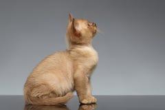 Birmanisches Kätzchen sitzt und oben schauend auf Grau Stockfotografie