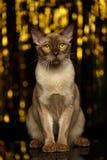 Birmano Cat Sits en fondo del Año Nuevo foto de archivo