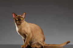 Birmano Cat Sits y mirada de la cámara en gris fotos de archivo libres de regalías