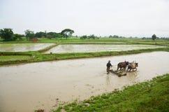 Birmano che ara facendo uso dei buoi situati in Pegu, Myanmar Fotografia Stock