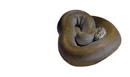 Birmano Python del verde de Patternless en el fondo blanco, P que acorta Foto de archivo