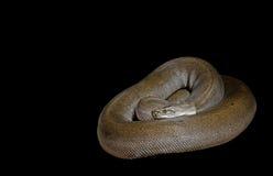 Birmano Python del verde de Patternless en el fondo negro, P que acorta Fotos de archivo libres de regalías