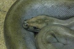 Birmano verde Python en parque zoológico foto de archivo libre de regalías