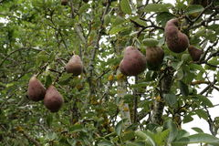 Birne auf Birnenbaum Lizenzfreies Stockfoto