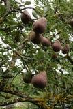 Birne auf Birnenbaum Lizenzfreie Stockfotos
