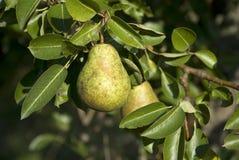Birne auf einem Baum Stockfotos