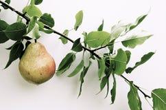 Birne auf Zweig auf dem weißen Hintergrund Lizenzfreies Stockfoto