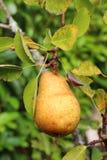 Birne, die auf einem Birnenbaum reift Stockfotos