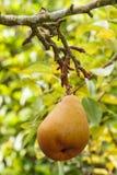 Birne, die auf einem Birnenbaum reift Lizenzfreies Stockbild