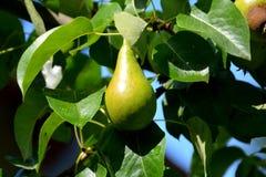 Birne in einem Birnenbaum Stockbild