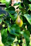 Birne in einem Birnenbaum Lizenzfreie Stockfotografie