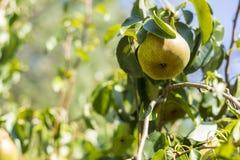 Birne in einem Birnenbaum Lizenzfreie Stockfotos