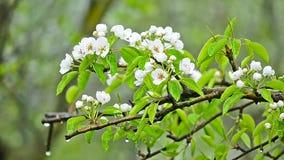 Birne fllowers an einem regnerischen Tag stock video