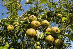 Birnen auf Baum Stockfoto