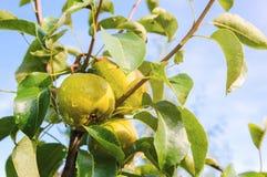 Birnen auf Baum Lizenzfreie Stockbilder