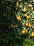 Birnen auf dem Baum Lizenzfreies Stockbild