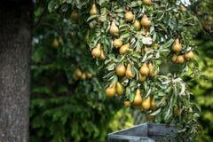 Birnen auf dem Baum Lizenzfreie Stockfotografie