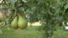 Birnen auf der Niederlassung Birnen auf dem Baum stock video