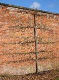 Birnen-Baum Stockbild