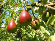 Birnen-Baum Lizenzfreies Stockbild