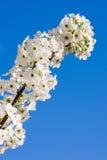 Birnen-Blüten Stockbild