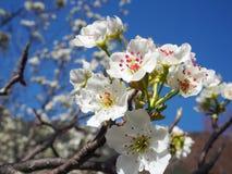 Birnen-Blüten Stockfoto